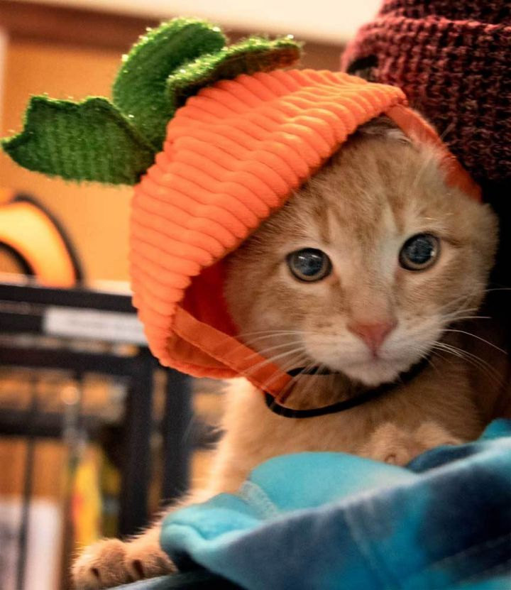 3 orange male kittens 3