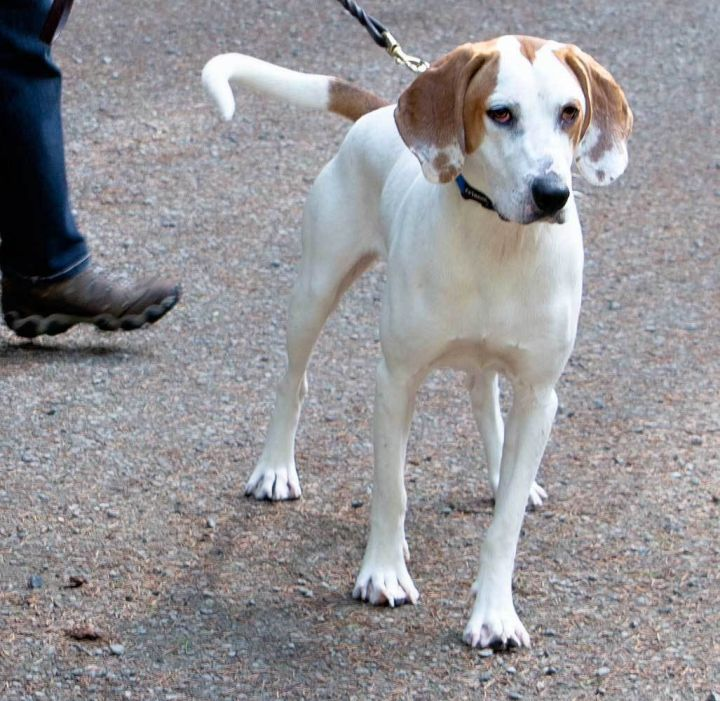 Walter, an adopted Treeing Walker Coonhound in Port Townsend, WA