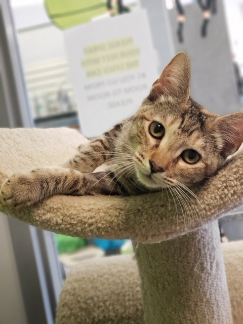 Arabella, an adoptable Domestic Short Hair in Winter Haven, FL