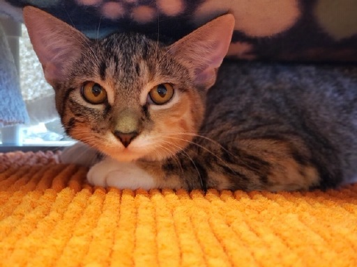Stella, an adoptable Domestic Short Hair in Winter Haven, FL