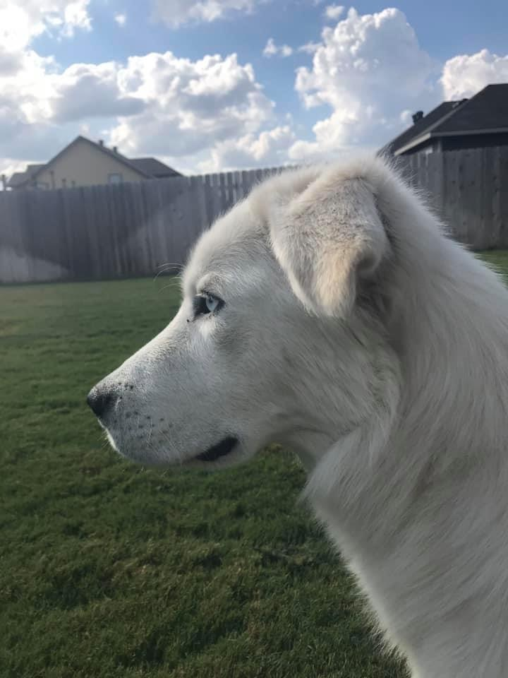 Aspen, an adopted Husky & Great Pyrenees Mix in Temple, TX