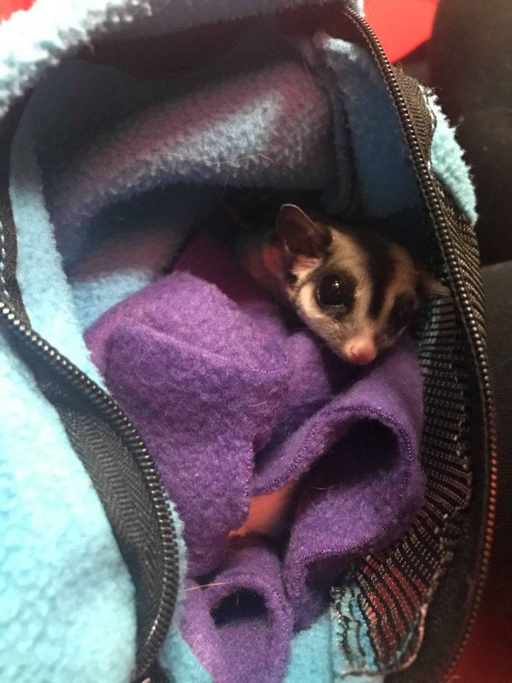 Sangria, an adoptable Sugar Glider in Saint Paul, MN
