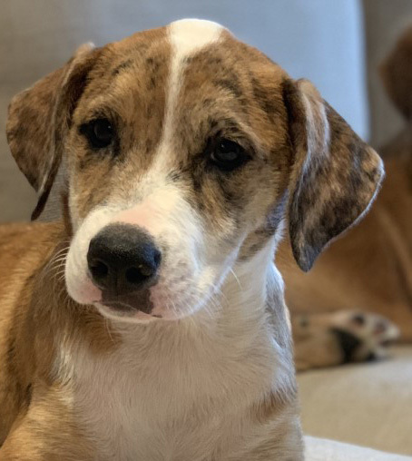 Bubbles, an adoptable Catahoula Leopard Dog Mix in Dallas, TX