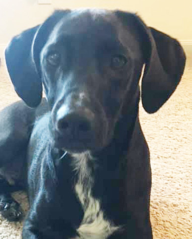 Lucky, an adoptable Labrador Retriever in Dallas, TX