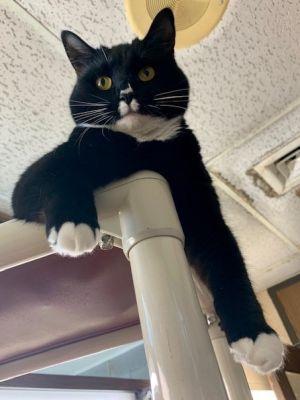 Becky Tuxedo Cat