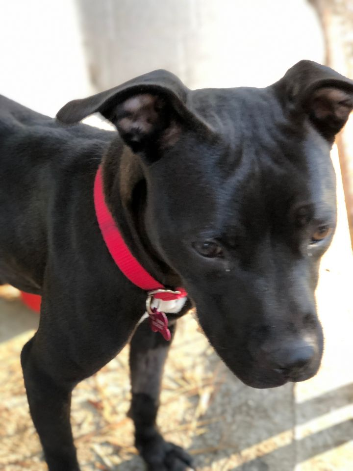 Precious, an adopted Boston Terrier & Pit Bull Terrier Mix in Clayton, NC