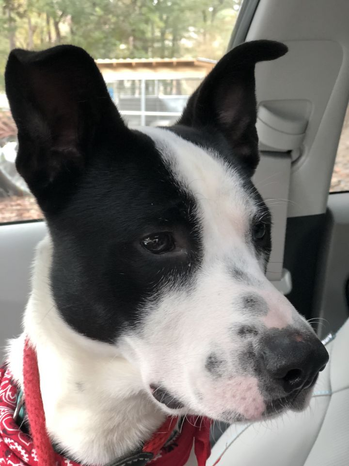 Colt, an adopted Border Collie Mix in Clayton, NC