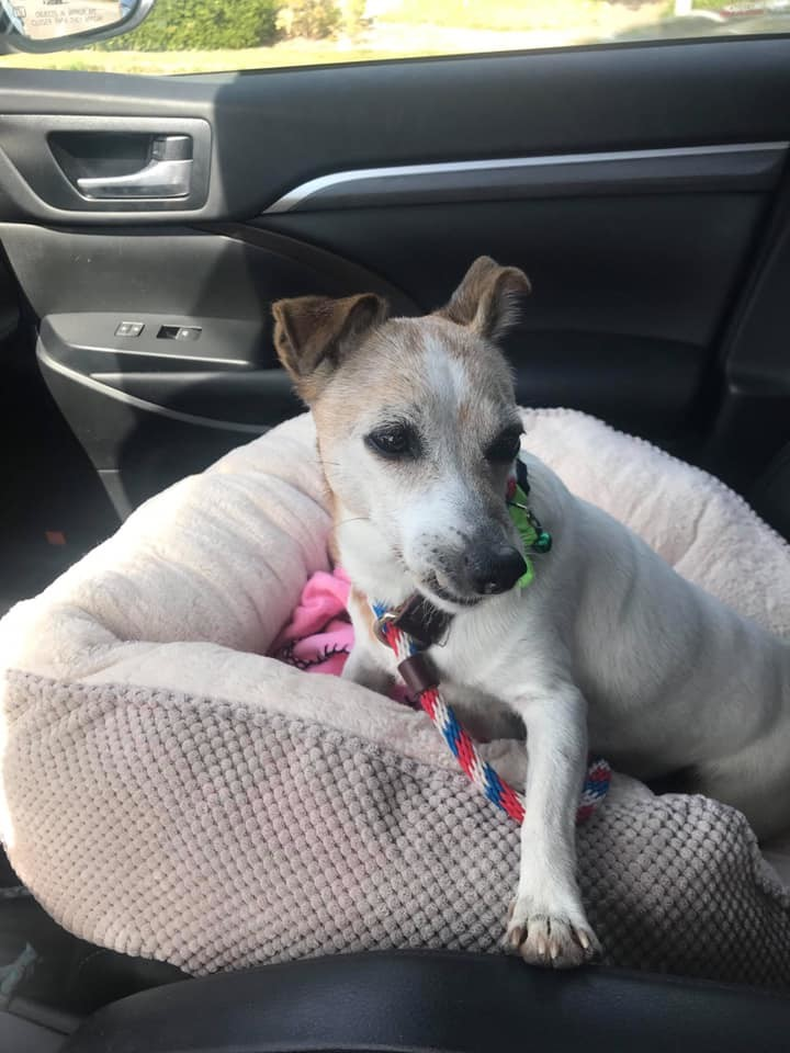 Pearl, an adopted Jack Russell Terrier in Madison, WI