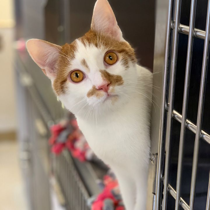 Oliver, an adoptable Domestic Short Hair in Naperville, IL