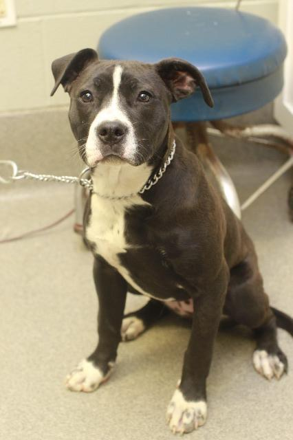 Dog For Adoption Lil Couch Potato Sky A Pit Bull Terrier