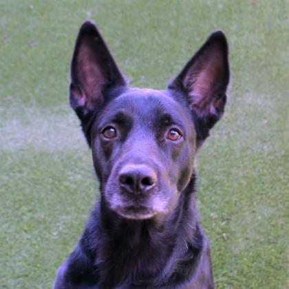 Wagner, an adoptable Shepherd Mix in Loxahatchee, FL