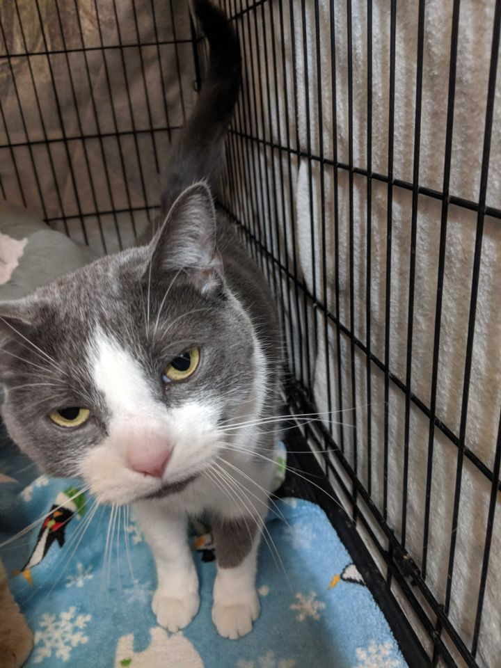 Layla, an adoptable Domestic Short Hair in Appleton, WI