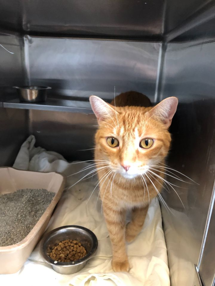 Han Solo, an adopted Domestic Short Hair Mix in Appleton, WI