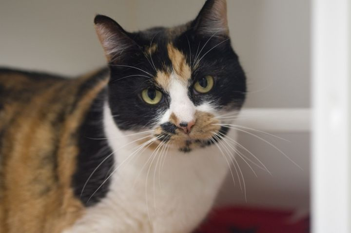 Lilac, an adoptable Domestic Short Hair in Bellingham, WA
