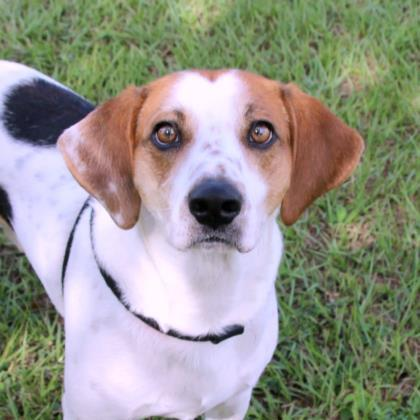 Crockett, an adoptable Hound Mix in Loxahatchee, FL