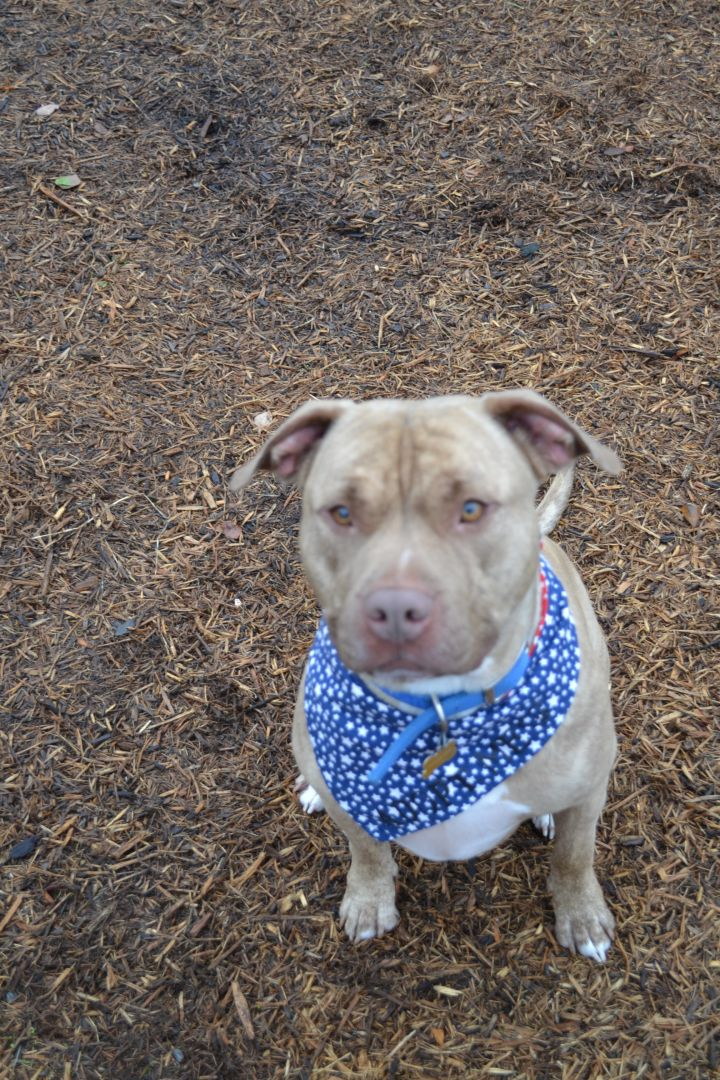 Tiger, an adopted Mastiff & Pit Bull Terrier Mix in Dillsburg, PA
