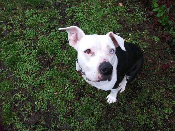 Daisy, an adoptable American Bulldog in Bellingham, WA