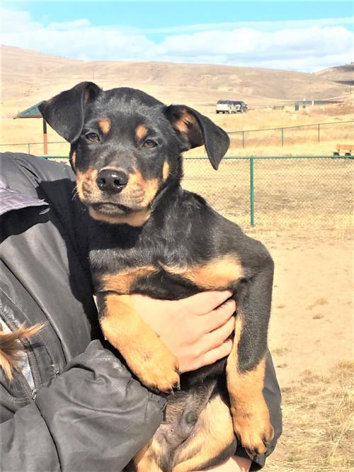 Daryl, an adoptable Shepherd Mix in Winter Park, CO