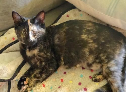 Julep, an adoptable Tortoiseshell & Domestic Short Hair Mix in Springfield, OR