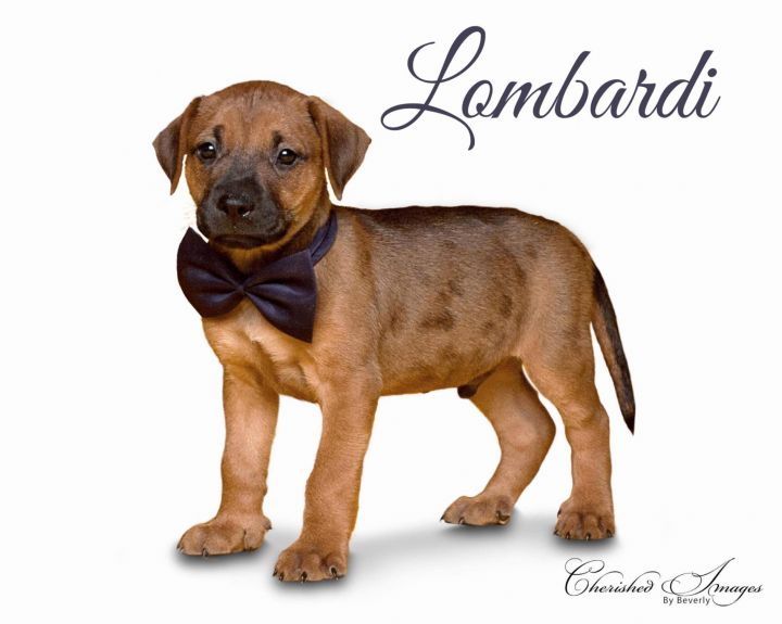 LOMBARDI, an adopted Labrador Retriever Mix in Lincoln, NE