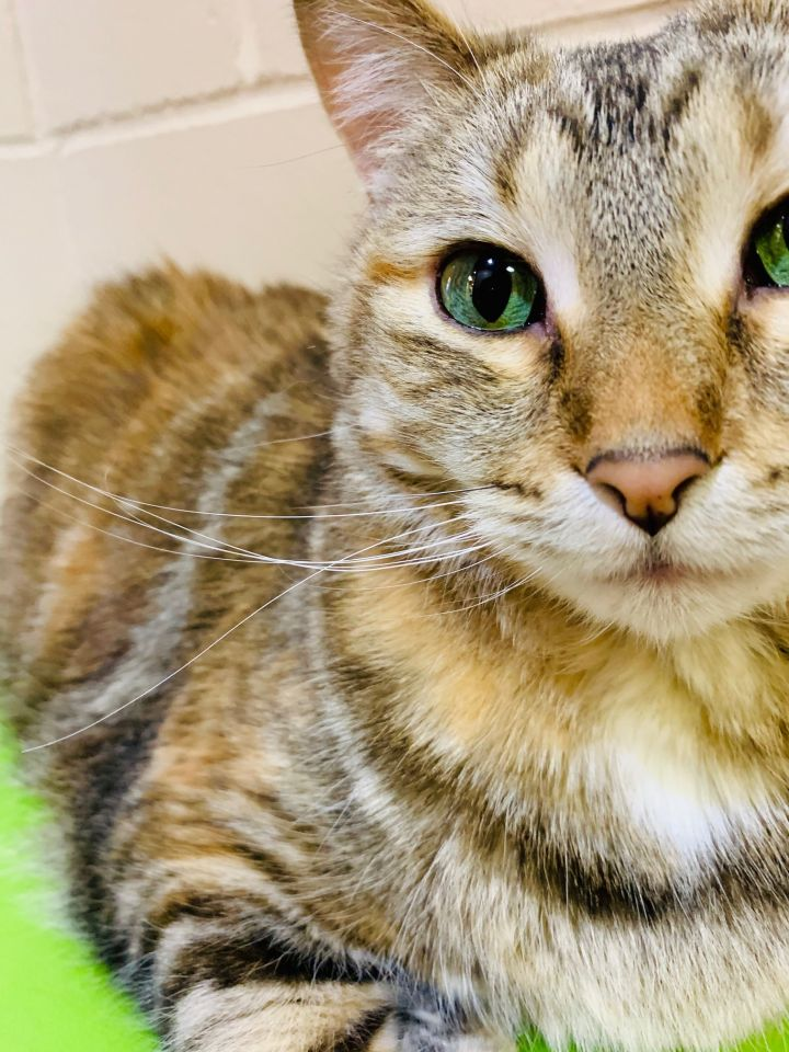 Mrs Puff, an adopted Domestic Short Hair in Appleton, WI