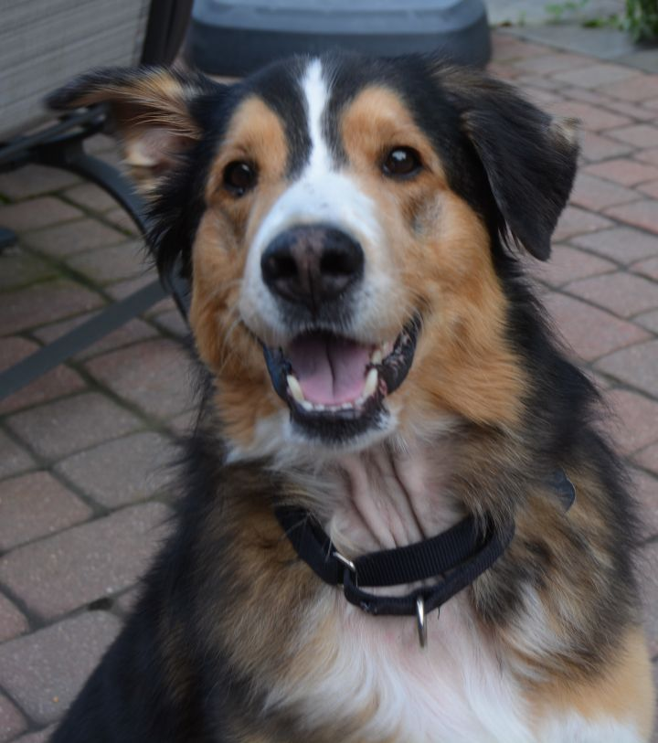 Dog For Adoption Franklin Adopted A Bernese Mountain
