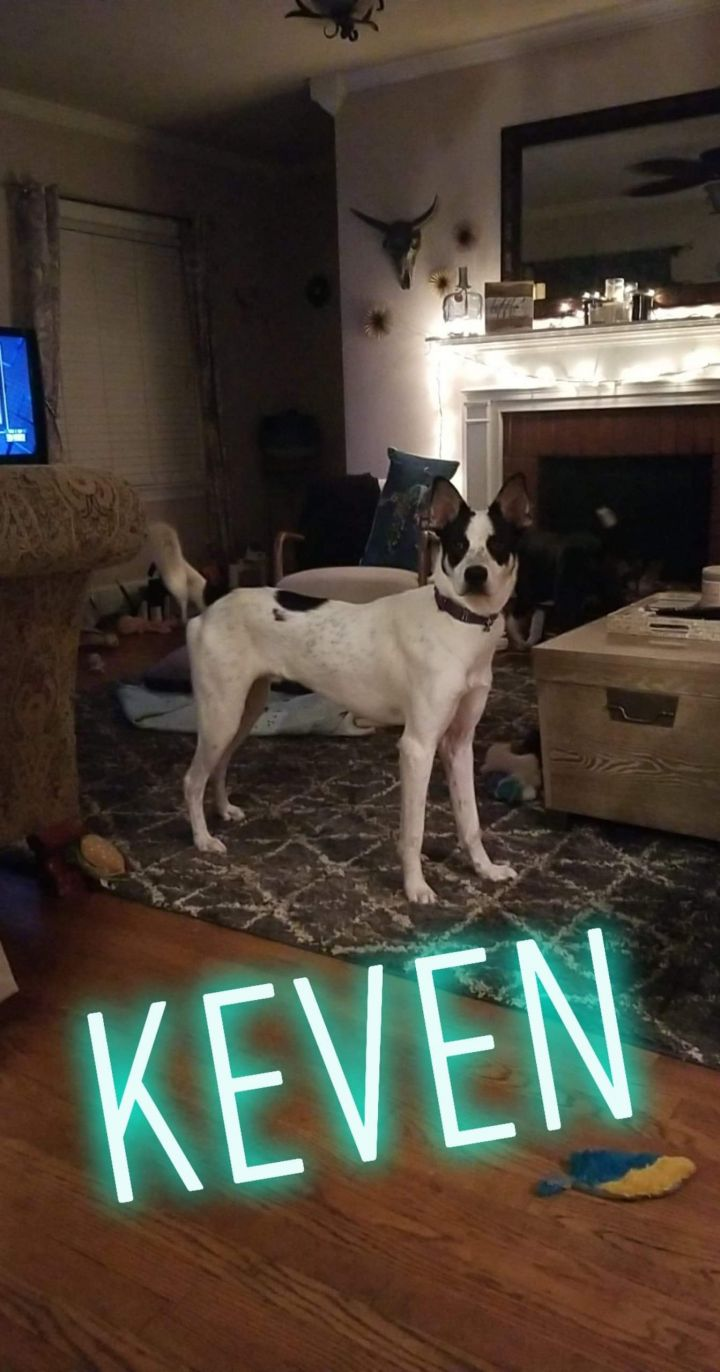 Keven, an adoptable Collie & Great Dane Mix in Conover, NC