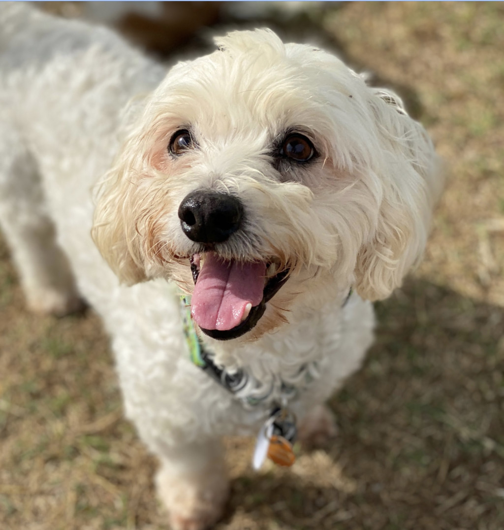 Dog For Adoption Frisco A Bichon Frise In Knoxville Tn