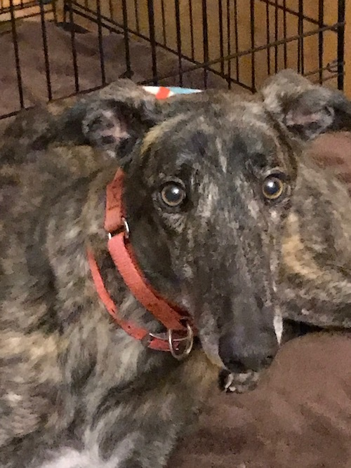 Turbo Sadler, an adopted Greyhound in Richmond, VA