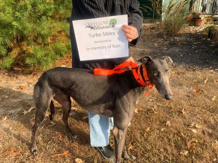 Turbo Sibley, an adopted Greyhound in Richmond, VA