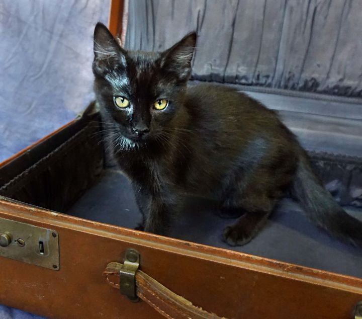Zinger, an adoptable Domestic Short Hair Mix in Buhl, ID
