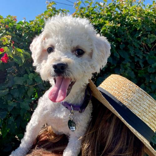 Carver, an adoptable Bichon Frise Mix in Placentia, CA