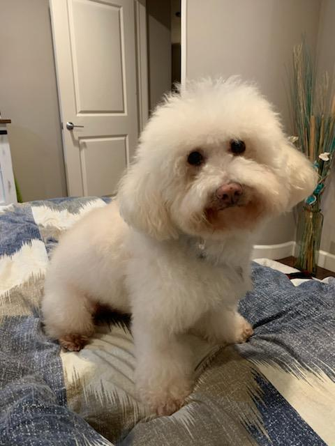 Waffles, an adopted Bichon Frise Mix in Placentia, CA