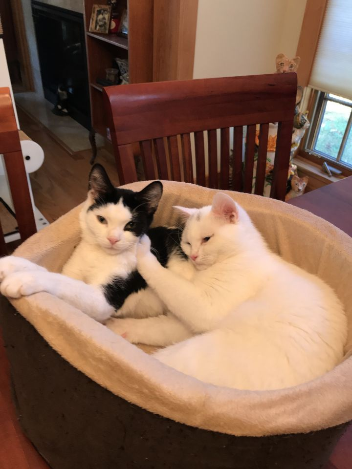 Mighty Whitey & Panda, an adopted Domestic Short Hair in Delmar, NY