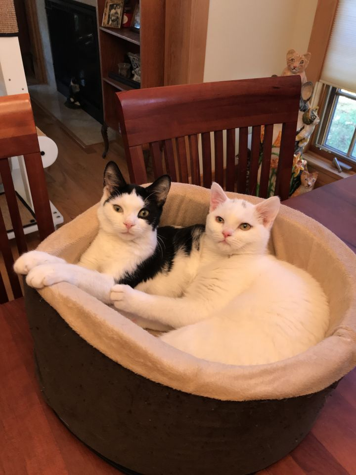 Mighty Whitey & Panda, an adoptable Domestic Short Hair in Delmar, NY
