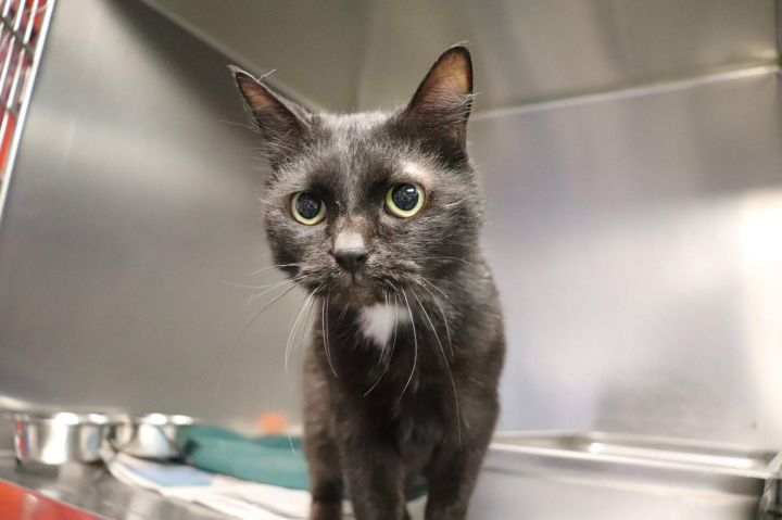 Salem, an adopted Domestic Short Hair in Waynesburg, PA