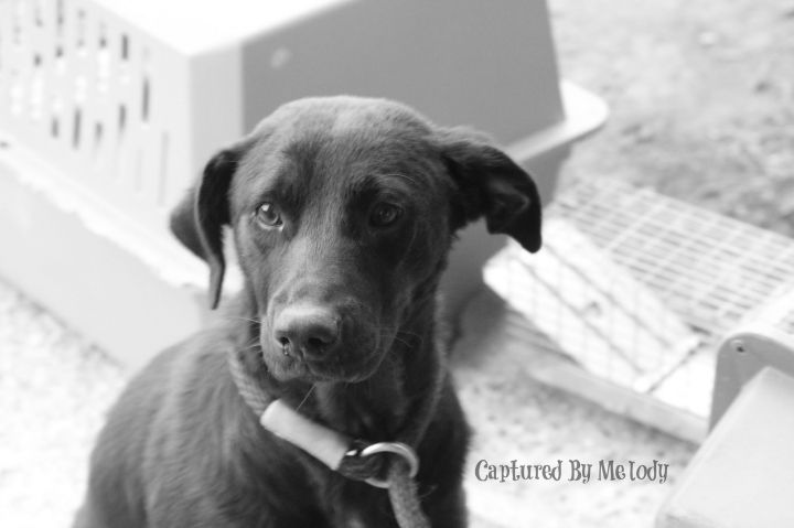 Buttercup, an adopted Labrador Retriever Mix in Cynthiana, KY
