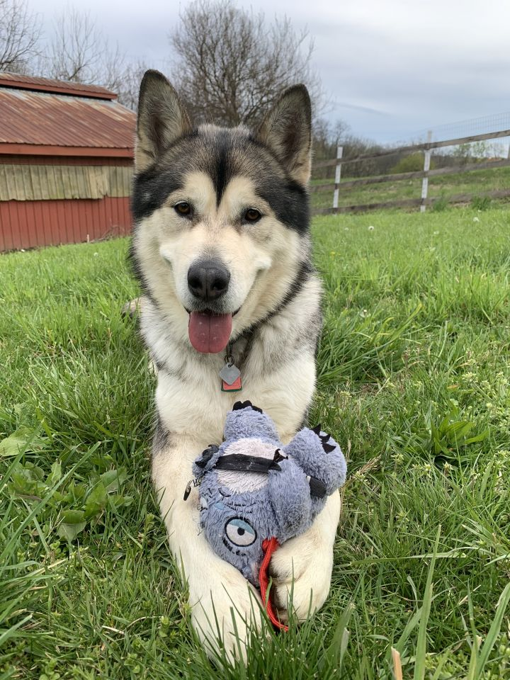 "Gibson ""Good Boy!"", an adoptable Alaskan Malamute in Gettysburg, PA"