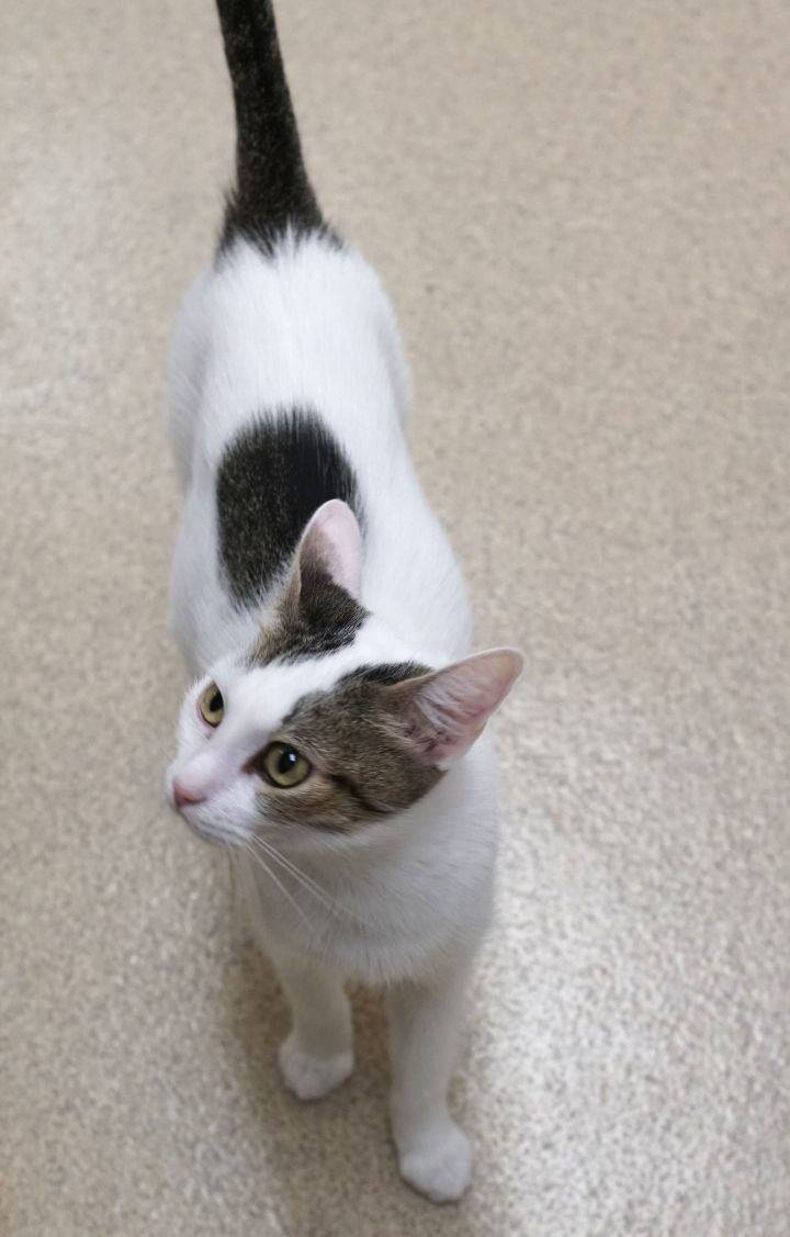 Joyce, an adoptable Domestic Short Hair in Naperville, IL