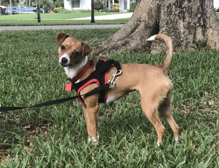Cashew, an adoptable Italian Greyhound & Miniature Pinscher Mix in Davie, FL