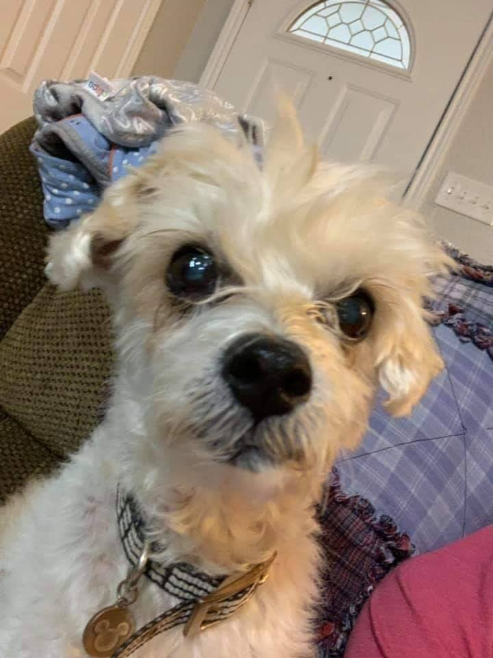 Sadie, an adopted Poodle Mix in Lubbock, TX
