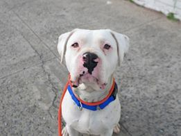 Fancy STATS Approximate age 3 years Approximate weight 51 pounds Breed s Bulldogpit mix--possibl