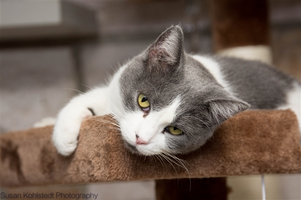 Sarah, an adoptable Domestic Short Hair Mix in Knoxville, TN