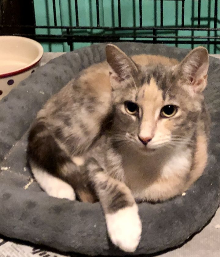 Pebbles, an adopted Domestic Short Hair & Dilute Calico Mix in Valhalla, NY