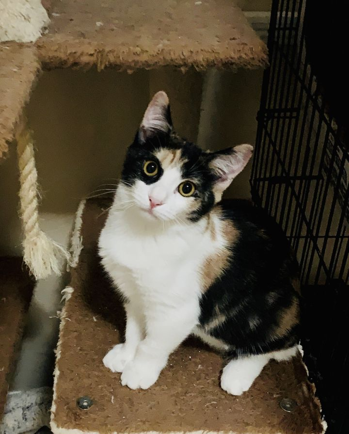 Maya, an adopted Calico & American Shorthair Mix in Mission Viejo, CA