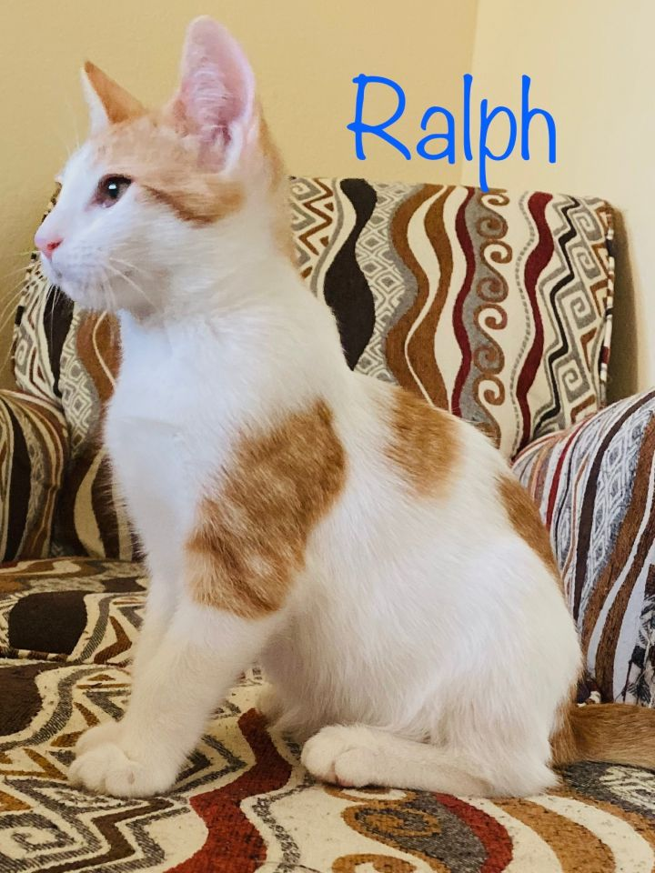 Ralph, an adopted Tabby & American Shorthair Mix in Mission Viejo, CA