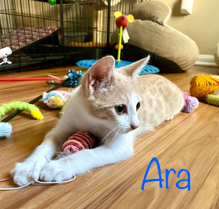 Ara, an adoptable Tabby & American Shorthair Mix in Mission Viejo, CA