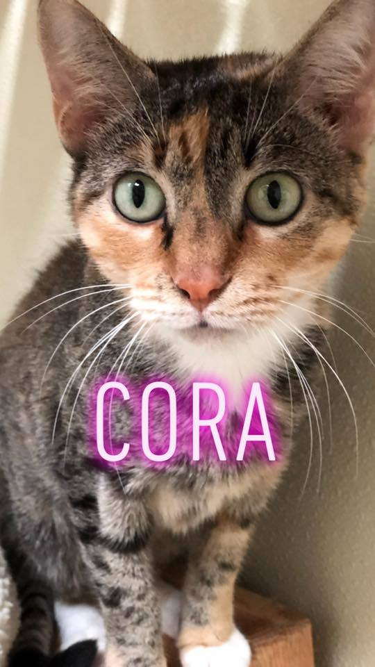 Cora, an adoptable Domestic Short Hair in Myerstown, PA