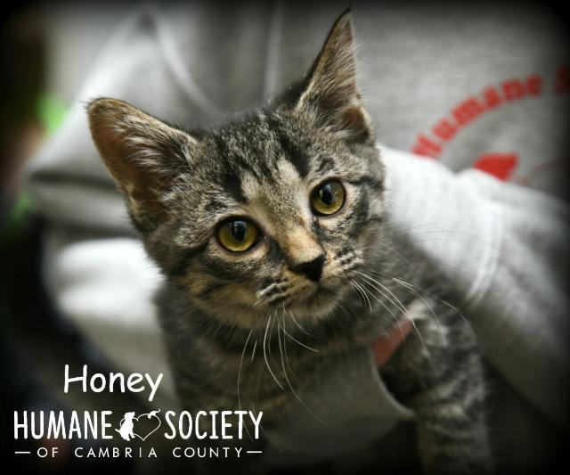 Honey, an adoptable Domestic Short Hair in Johnstown, PA