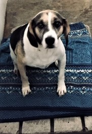 Jake, an adopted Beagle Mix in Paducah, KY